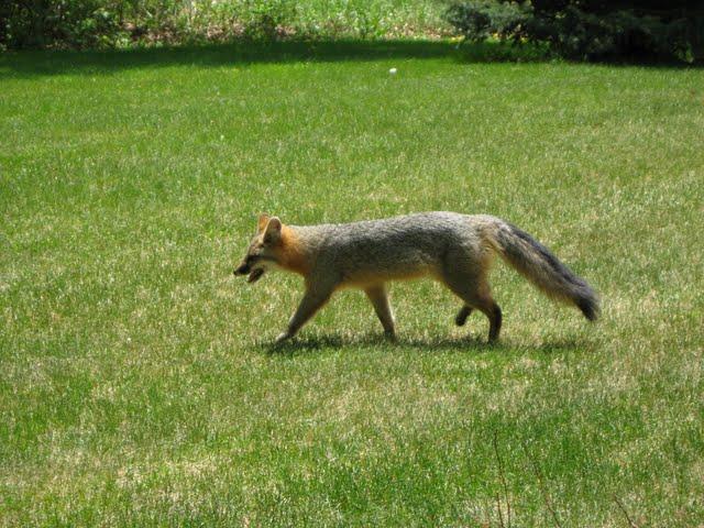 Grey fox 010