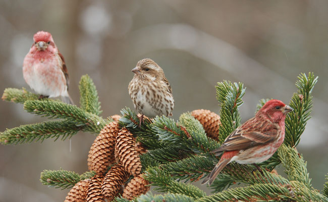 purple-finch-on-evergreen