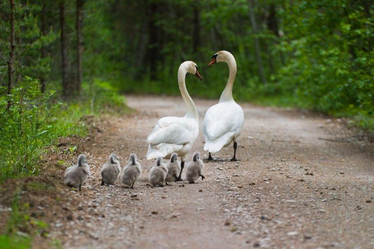 swans-1024x682