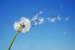 dandelion_background