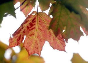 kingpod leaf0808csmall