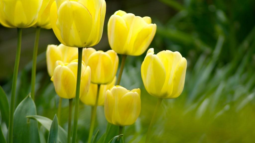 flower-tulips-grass-macro-1080x1920