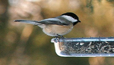 black-capped-chickadee-at-feeder