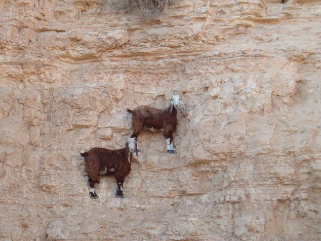 Goats-in-precarious-positions-03-634x475