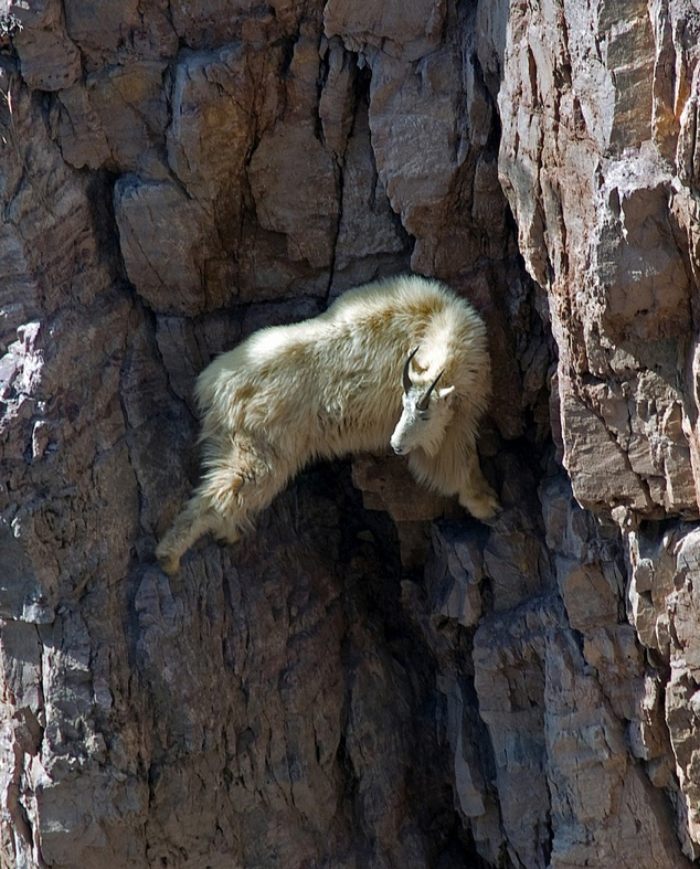 Goats-in-precarious-positions-04